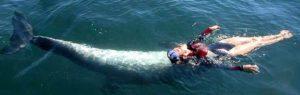 F. Pichard : les dauphins sont des guides